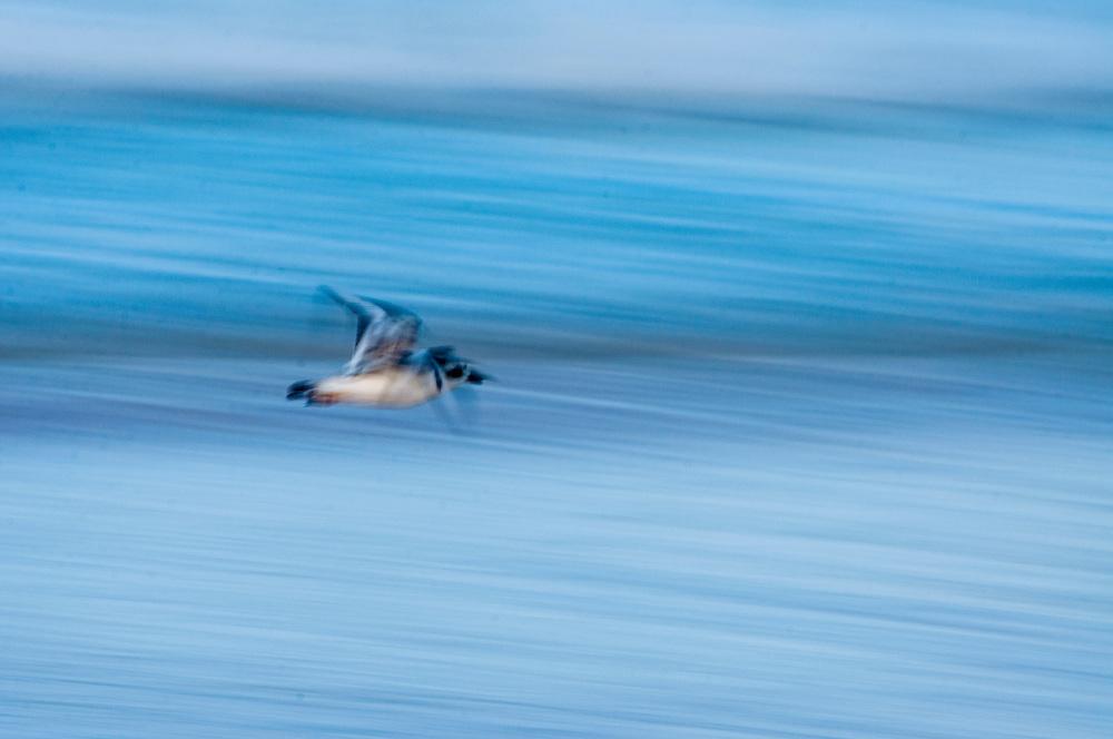 Plover bird flying along the seashore in the Bahamas