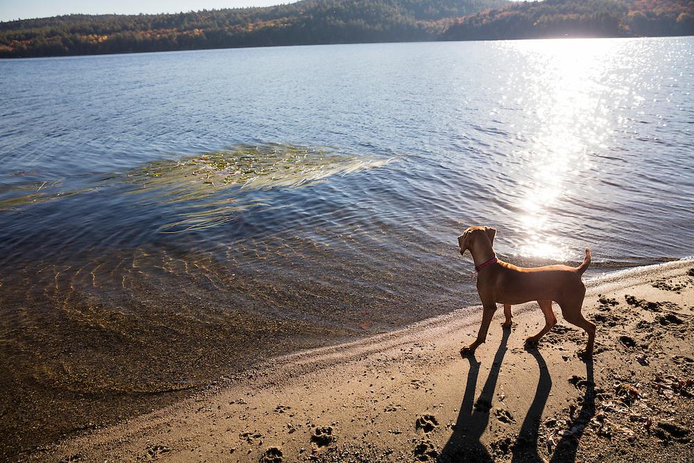 Young Vizsla standing on a sandy lake shore