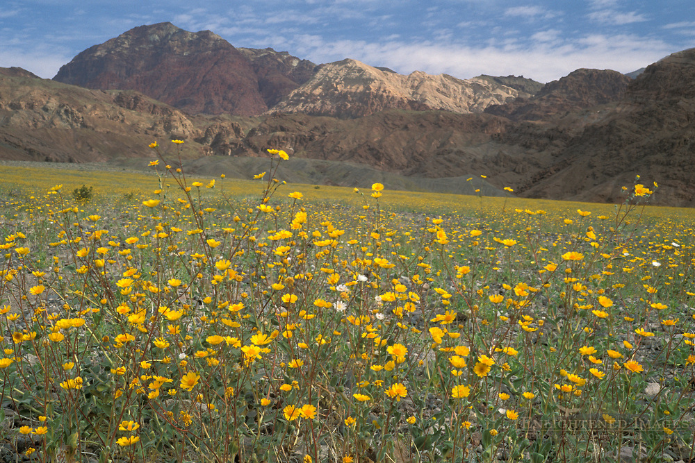 Desert Gold sunflower wildflowers Geraea Canescens record spring bloom below Black Mountains, Death Valley, California