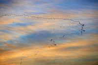 Egypte, Haute Egypte, vallée du Nil, Louxor, le souk de Louxor, vol de cormoran // Egypt, Nile Valley, Luxor, Luxor souk or market, cormorant