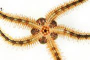 Zerbrechlicher Schlangenstern (Ophiothrix fragilis) Ventralseite - der Mund ist zusehen | Common brittle star (Ophiothrix fragilis)