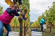 Fairsing Vineyard 2018 harvest, Yamhill-Carlton AVA, Willamette Valley, Oregon