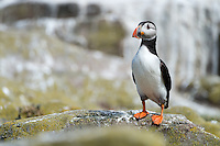 Papageitaucher, Farne Islands, England