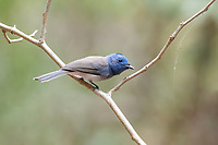 The black-naped monarch or black-naped blue flycatcher (Hypothymis azurea) is a slim and agile passerine bird belonging to the family of monarch flycatchers found in southern and south-eastern Asia. They are sexually dimorphic, with the male having a distinctive black patch on the back of the head and a narrow black half collar, while the female is duller with olive brown wings and lacking the black markings on the head.