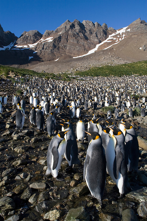 Antarctica, South Georgia Island (UK), King Penguins (Aptenodytes patagonicus) standing at edge of crowded rookery on beach in morning sun along Right Whale Bay at dawn in late summer