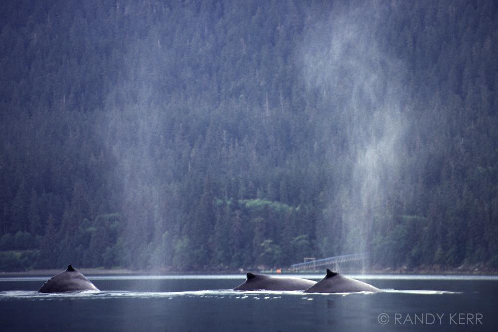 Three humpback wales sufacing