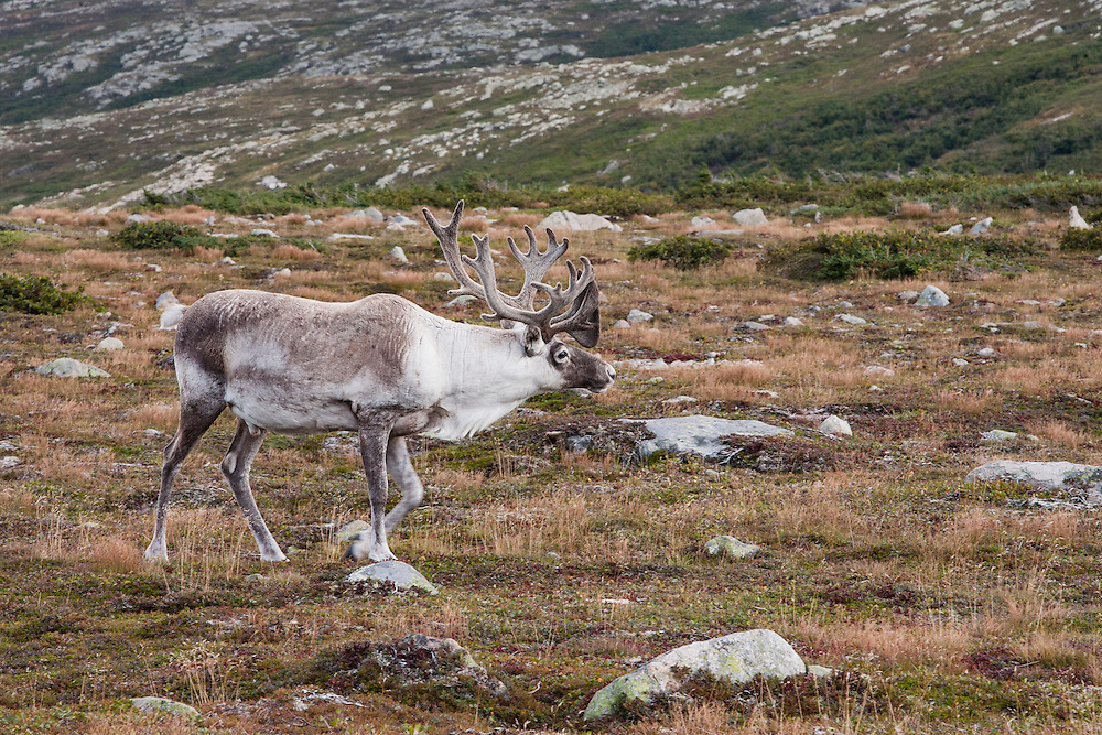 A bull woodland caribou roams the mountain top of Gros Morne National Park, Newfoundland. Gros Morne National Park is a world heritage site located on the west coast of Newfoundland. At 1,805 km², it is the second largest national park in Atlantic Canada. © Allen McEachern
