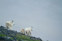 Mountain goats on Mt. Rainier National Park, WA.