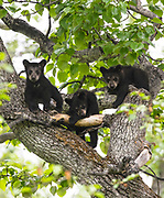 Black Bear (Ursus americanus) cubs resting, safe in a cottonwood tree while the sow feed on fresh spring grasses, Anchorage.