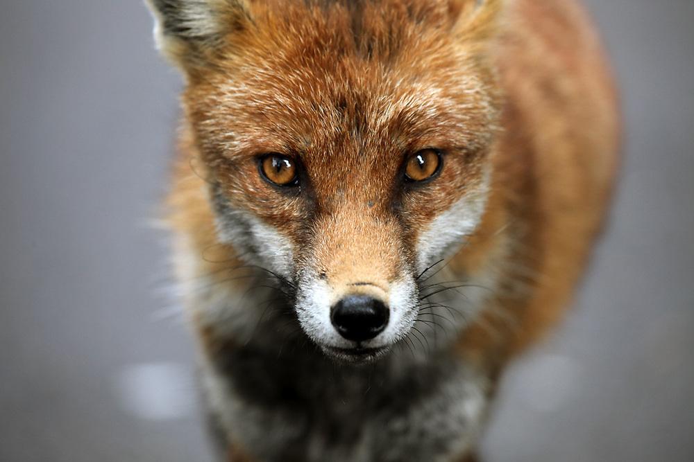 Urban Fox portrait in Bristol Street during day light hours.