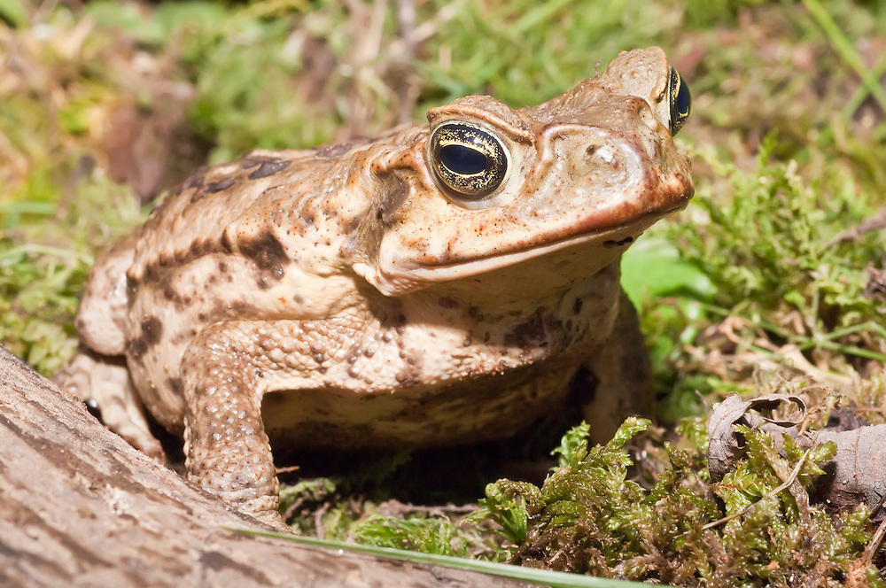 Cane toad, Bufo marinus, also known as Giant Neotropical toad or marine toad, native to Central and South America