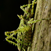A moss-mimicking katydid from the rainforest of central Africa. Kabarole, Uganda.