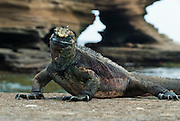 "This Galapagos Marine Iguana (Amblyrhynchus cristatus) is at Puerto Egas, visited via a wet landing on Santiago (or San Salvador; or James Island), in the Galápagos Islands archipelago, a province of Ecuador, South America. The Marine Iguana is the world's only sea-going lizard and is found only on the Galapagos Islands (spread throughout the archipelago). They feed almost exclusively on marine algae, expelling the excess salt from nasal glands while basking in the sun, coating their faces with white. Marine Iguanas live on the rocky shore or sometimes on mangrove beaches or marshes. Most adults are black, some grey, and the young have a lighter colored dorsal stripe. The somber tones allow the species to rapidly absorb the warm rays of the sun to minimize the period of lethargy after emerging from the frigid water, which is cooled by the Humboldt Current. Breeding-season adult males on the southern islands are the most colorful and will acquire reddish and teal-green colors, while Santa Cruz males are brick red and black, and Fernandina males are brick red and dull greenish. The iguanas living on the islands of Fernandina and Isabela (named for the famous rulers of Spain) are the largest found anywhere in the Galápagos. The smallest iguanas are found on Genovesa Island. Santiago is equivalent to Saint James in English; and its alternative name San Salvador refers to the island discovered by Columbus in the Caribbean Sea. Published in ""Light Travel: Photography on the Go"" book by Tom Dempsey 2009, 2010."