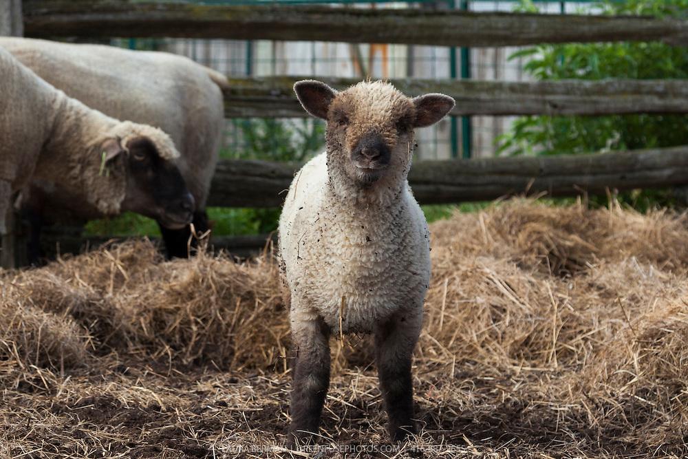 Heritage Shropshire sheep