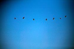 CANADA ALBERTA FORT CHIPEWYAN 11MAY07 - Migratory bird formation above Lake Athabasca, northern Alberta, Canada...jre/Photo by Jiri Rezac / WWF-UK..© Jiri Rezac 2007..Contact: +44 (0) 7050 110 417.Mobile: +44 (0) 7801 337 683.Office: +44 (0) 20 8968 9635..Email: jiri@jirirezac.com.Web: www.jirirezac.com..© All images Jiri Rezac 2007 - All rights reserved.