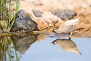 sand partridge (Ammoperdix heyi) is a gamebird in the pheasant family Phasianidae of the order Galliformes, gallinaceous birds.