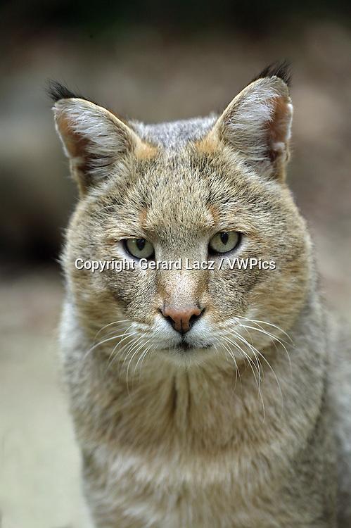 Jungle Cat, felis chaus, Portrait of Adult