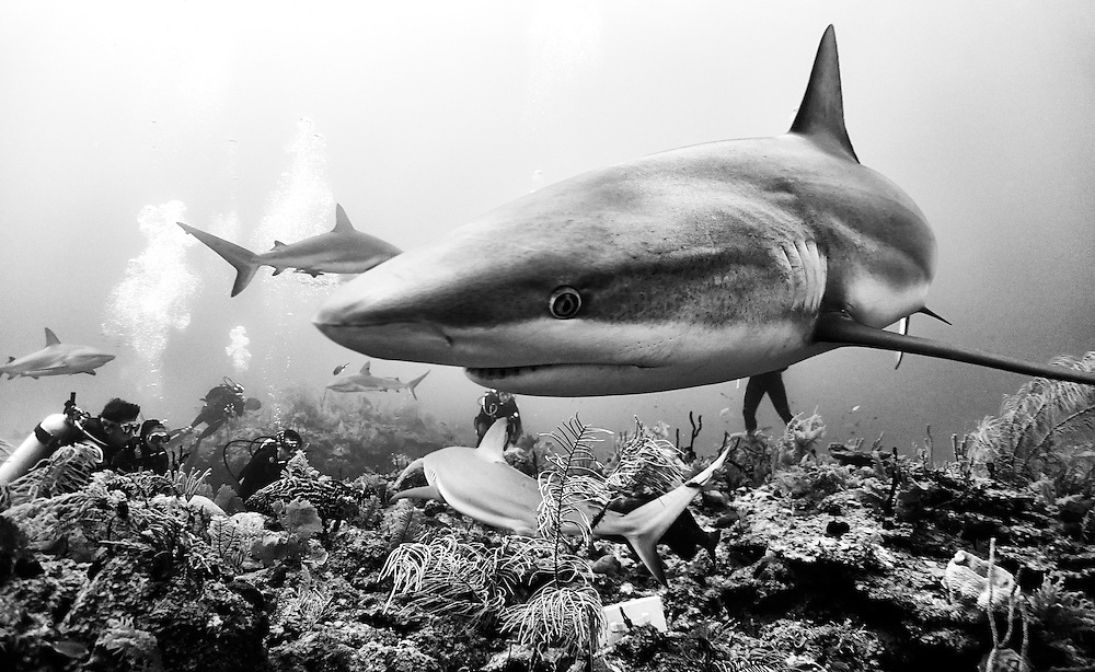 Silky and reef sharks are always curious, in this case, the bright lens and the reflection probably caught the attention of this silky