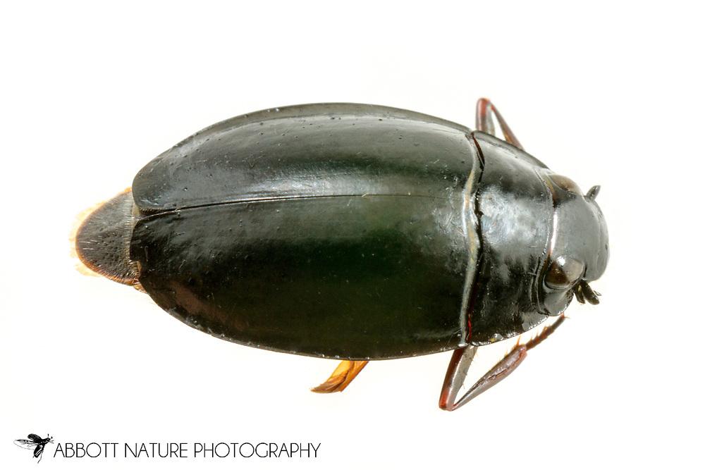 Whirligig Beetle (Dineutus sp.)<br /> United States: Alabama: Tuscaloosa Co.<br /> Tulip Tree Springs off Echola Rd.; Elrod<br /> 2-Jul-2017<br /> J.C. Abbott #2964