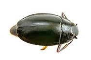 Whirligig Beetle (Dineutus sp.)<br /> United States: Alabama: Tuscaloosa Co.<br /> Tulip Tree Springs off Echola Rd.; Elrod<br /> 2-Jul-2017<br /> J.C. Abbott #2964