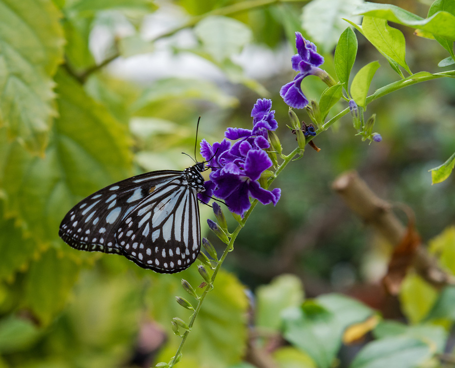 A paper kite butterfly lands on a green branch with purple flowers.