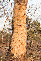 Elephant damage on large trees, Majete Wildlife Reserve, Malawi.