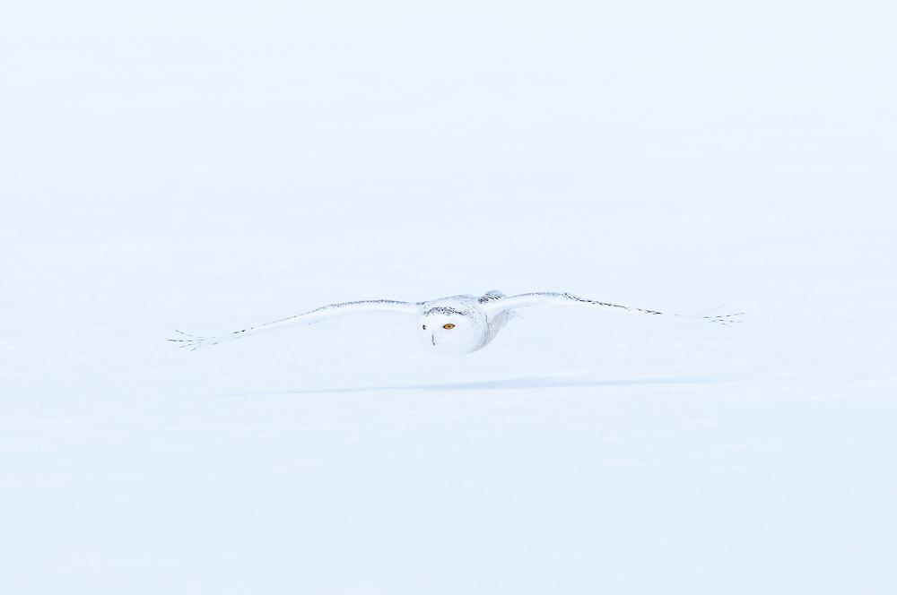 Snowy Owl, Bubo scandiacus, Midland County, Michigan