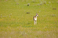 A Pronghorn fawn to some an American Antelope wanders below Commissary Ridge in the valley known as the Hamsfork area this valley is a nursery to the pronghorn with large numbers of fawns and an equal number of adult animals also!