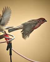 House Finch in flight. Image taken with a Nikon D5 camera and 600 mm f/4 VR lens (ISO 720, 600 mm, f/4, 1/1250 sec)