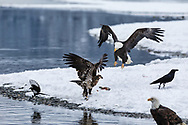 Bald Eagle (Haliaeetus leucocephalus) protecting its salmon catch along the Chilkat River in the Chilkat River Bald Eagle Preserve in Southeast Alaska. Winter. Afternoon.