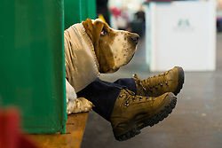 © Licensed to London News Pictures. 13/03/2016. Birmingham, UK. A dog and some legs poke out of a stall at Crufts 2016 held at the NEC in Birmingham, West Midlands, UK. The world's largest dog show, Crufts is this year celebrating it's 125th anniversary. The annual event is organised and hosted by the Kennel Club and has been running since 1891. Photo credit : Ian Hinchliffe/LNP