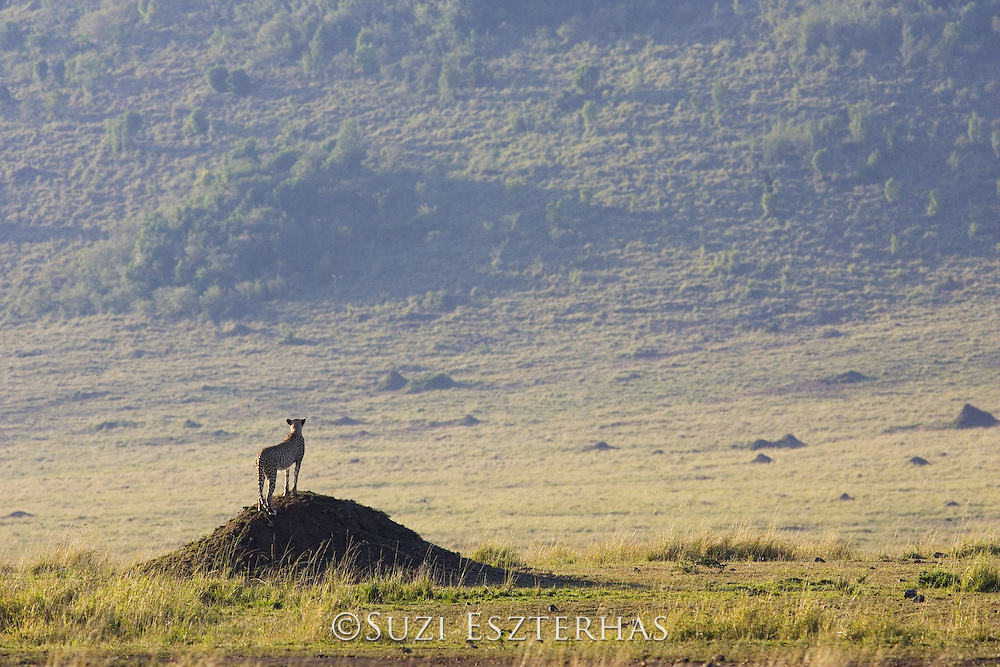 Cheetah<br /> Acinonyx jubatus<br /> Female standing on termite mound to look for prey<br /> Maasai Mara Reserve, Kenya