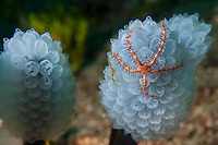 Brittle Star on Tunicates<br /> <br /> Shot in Indonesia