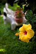 Yellow, Hibiscus, Jalisco, Mexico