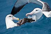 White-capped Albatross, Southern Royal Albatross, New Zealand