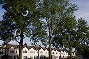 Period Edwardian-era homes near tall  100 year-old mature ash trees in Ruskin Park, Lambeth, South London.