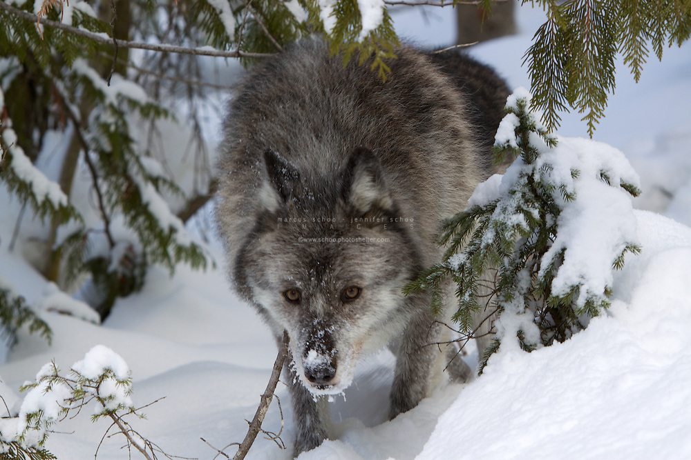 No creature symbolizes the wild places of the world like the grey wolf (canis lupus). The grey wolf, also known as gray wolf or timber wolf, once roamed across much of the northern hemisphere but through habitat reduction has now been relegated to the wildest regions of North America, Europe and Northern Asia. In some of the United States the grey wolf is protected by the Endangered Species Act but no such protection exists across the border in Canada. The grey wolf is a keystone predator, reducing their numbers or eradicating them from an area destroys the ecological balance. Nowhere has this effect been so dramatically seen as Yellowstone National Park where the eradication of the grey wolf resulted in the loss of many species and a complete change in the landscape. The reintroduction of the grey wolf and the subsequent recovery of the Yellowstone ecosystem is touted as one of the most successful environmental recovery initiatives. This grey wolf, Maya, resides at the Northern Lights Wildlife Wolf Centre in Golden, British Columbia, Canada. Here they .work to educate the public on the importance the grey wolf has in maintaining the ecological balance.