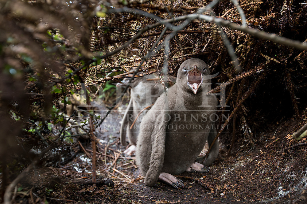 Megadyptes antipodes (Yellow eyed penguin) chick at Enderby Island, Auckland Islands, New Zealand. <br /> 12 January 2016<br /> Photograph Richard Robinson &copy; 2016