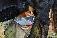 Mongolie, Province de Ovorkhangai, Vallee de l'Orkhon, campement nomade, traite des yak // Mongolia, Ovorkhangai province, Orkhon valley, Nomad camp, yak milking