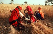 INDIA, RAJASTHAN Women harvesting wheat in fields  near their village