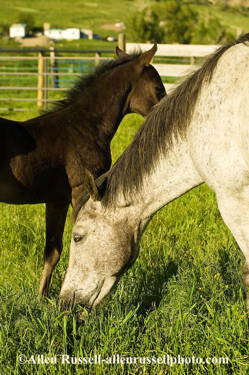 Quarter Horse, colt, mare, <br /> PROPERTY RELEASED