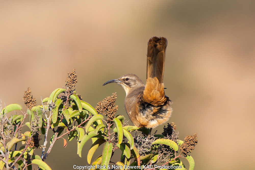 California Thrasher<br /> Toxostoma redivivum<br /> San Diego, California, United States<br /> 11 September       Adult        Mimidae