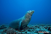 Hawaiian monk seal, Monachus schauinslandi, male ( critically endangered species ), Lehua Rock, near Niihau, off Kauai, Hawaiian Islands, USA ( Central Pacific Ocean ); dive site: Vertical Awareness