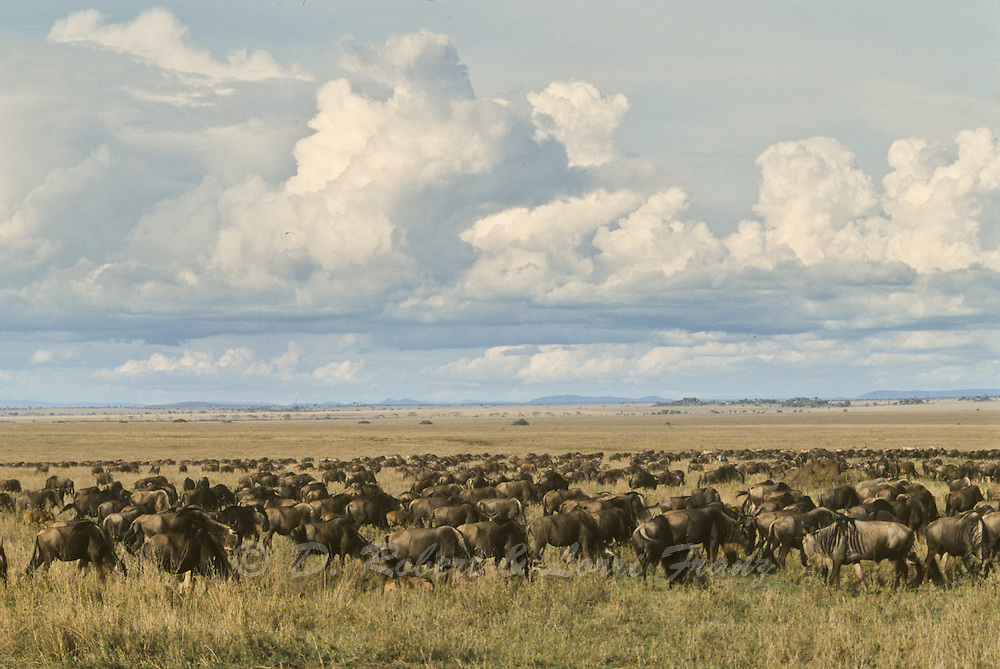 Migrating herd of wildebeest on the Serengeti