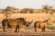 White Rhino and calf at a feeding station during time of drought, Dronfield Nature Reserve, Nothern Cape, South Africa