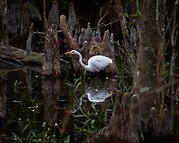 Great Egret in Big Cypress Swamp. Image taken with a Nikon Df camera and 70-200 mm f4 lens (ISO 40, 200 mm, f/4, 1/400 sec).