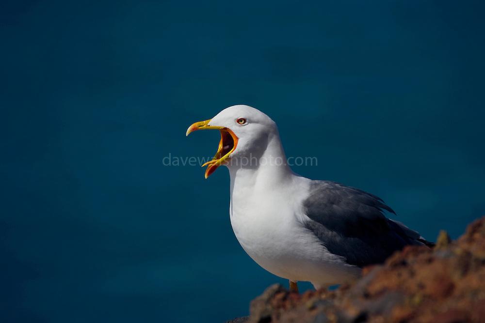 Yellow Legged Gull, Larus michahellis, at Playa Del Ingles, La Gomera, Canary Islands