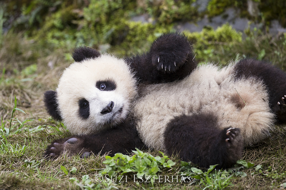 Giant Panda<br /> Ailuropoda melanoleuca<br /> 6-8 month-old cub<br /> Bifengxia Base of China Conservation and Research Center of Giant Panda, Ya'an, China<br /> *captive