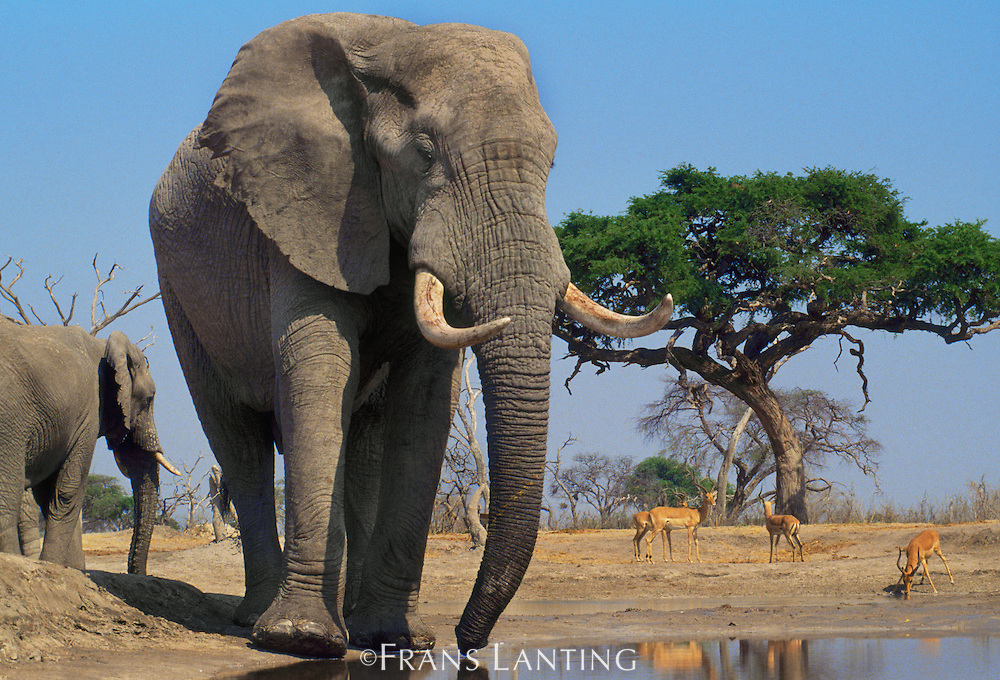 African elephants, Loxodonta africana, and impalas at waterhole, Aepyceros melampus, Chobe National Park, Botswana