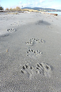River Otter tracks on the Beach